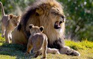 Лъвове спасили 12-годишно момиче