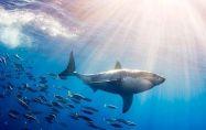 Голяма бяла акула в аквариум ли?!?