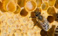 Как действа пчелното млечице?
