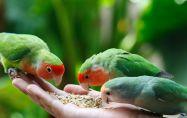 12 неща, които папагалите обичат да ядат - Част 1