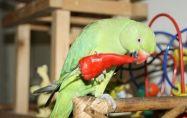 12 неща, които папагалите обичат да ядат - Част 2