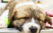 4-те най-опасни кучешки болести