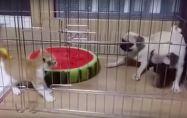 Два мопса vs. котенце