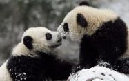 Пандата не е застрашена от изчезване!