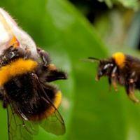 Тайният живот на дивите пчели