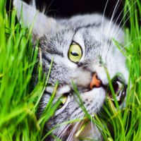 Котешка трева - добра или лоша?