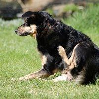 Как да се отървем от кучешките бълхи