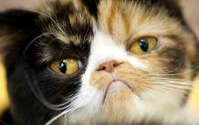Котешки урологичен синдром - FUS