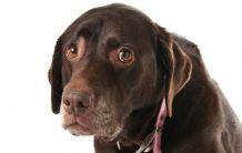 Как ни манипулират кучетата